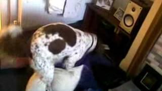 Springer Spaniel Humping Pillow