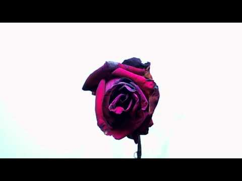 Time Lapse of Rose Blooming, Wilting, Dropping Petals and Dying