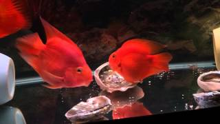 Red parrot cichlid laying egg