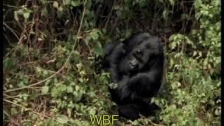 Gorilla Trekking - Auf den Spuren der sanften Riesen