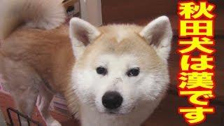 すぐ甘えるシェパード犬のマック君 横目で見ながら甘える事はしない秋田...
