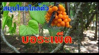 บอระเพ็ด - สมุนไพรไม้เลื้อยที่พบได้ตามป่าดิบแล้ง จัดเป็นสมุนไพรไทยบ้าน ๆ ที่มีสรรพคุณทางยาสารพัด..!!
