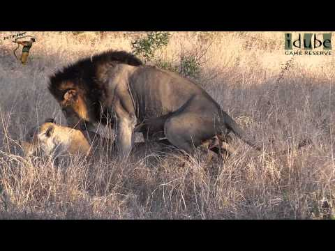 WILDlife: Lions Pairing In The African Bush from YouTube · Duration:  38 seconds