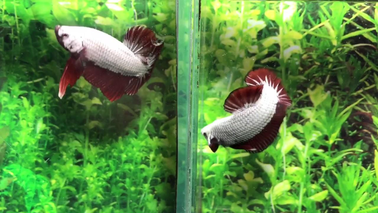 ตอน ทำไมปลากัดต้องเลี้ยงแยกเหลี่ยม by Goldenbetta