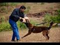 Best dog training center in kerala  -  Watch Mr. Vineeth training Belgian malinois