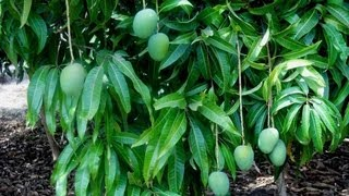 How is Seasonal Alphonso Mango Grown - Hapoos Organic Method