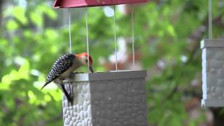 Red-bellied Woodpecker At The Infinity Bird Feeder