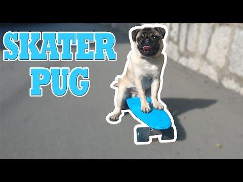Смешное видео про собак: неуклюжая попытка мопса