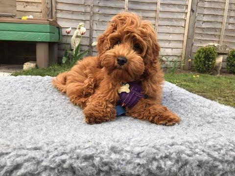 Rosie - 15 week old Cockapoo Puppy - 2 Weeks Residential Dog Training