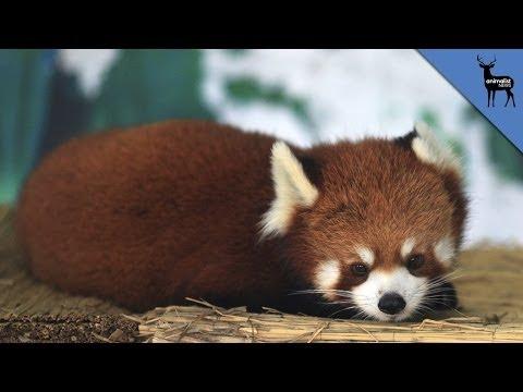 Are Giant Pandas Bears or Raccoons? thumbnail