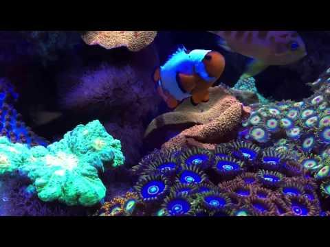Innovative Marine 30 gal. Reef Tank @ Neptune Aquatics in San Jose
