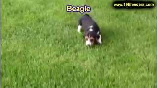 Beagle, Puppies, For, Sale, In, Mobile, County, Alabama, Al, Huntsville, Morgan, Calhoun, Etowah, Ho