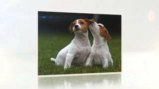 Toilet Training Jack Russell Puppies