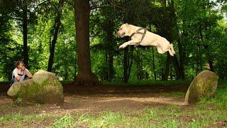 saltos de Pitbull - Pitbull jumps