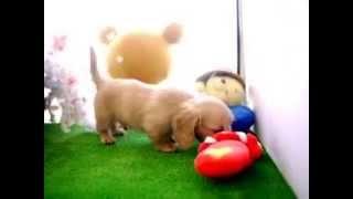 ミニチュアダックスフンド2015.4/16生まれのオスの子犬の動画になります...