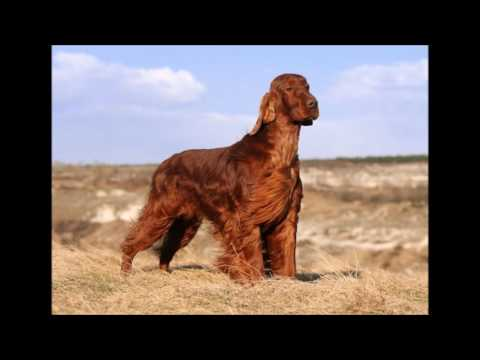 Shannon Full Song By Henry Gross (Tribute To Shannon the Irish Setter Owned By Carl Wilson)