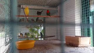 Gouldian finch breeder  (AVIJIT )