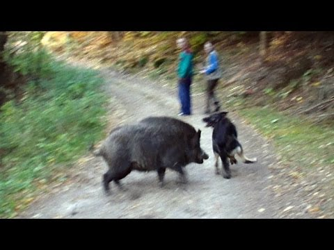 wolf-dog-and-boars