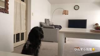 大型犬でラージミュンスターレンダーのボン爺ちゃんの日常をお送りしま...