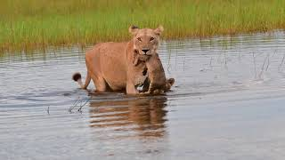 Lioness and cubs water crossing