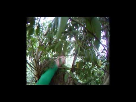 karri knight tallest tree in europe