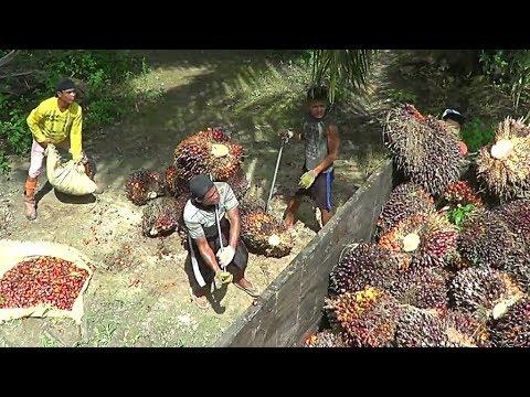 Panen kelapa sawit di Kalimantan Tengah