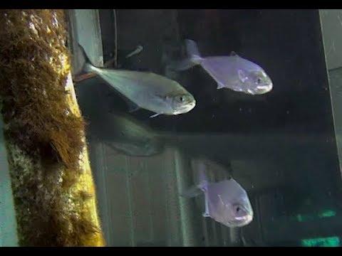 ミナミイケカツオ Needlescaled Queenfish Scomberoides Tol