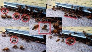 ЖИВОЕ ВИДЕО!!! УДИВИТЕЛЬНЫЕ СКОБЕЛЬЩИКИ!!! Все Секреты Пчеловодства!!!