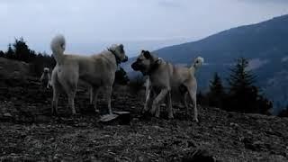 Afyon çoban karabaş çoban köpekleri