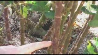 Pruning Hybrid Tea Rose Bushes