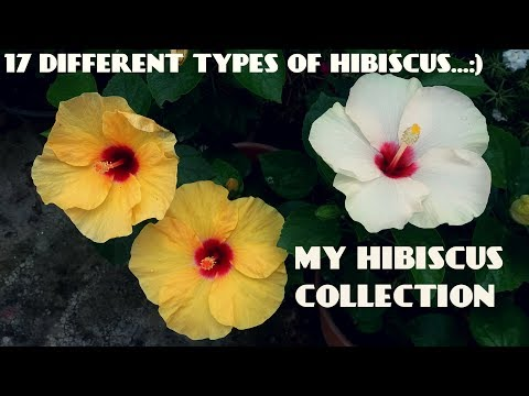 17 Different Types Of Hibiscus Flowers In My Garden
