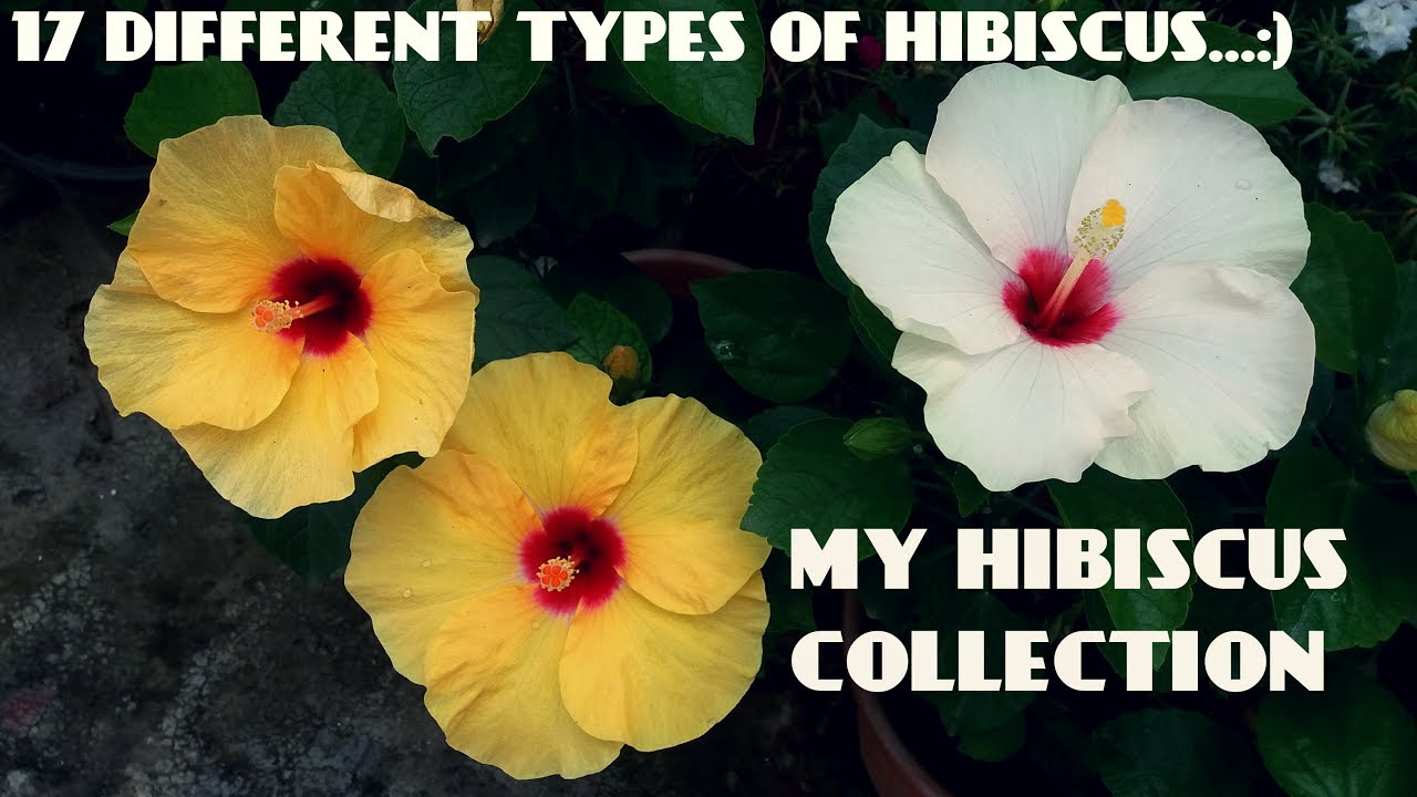 17 Different Types Of Hibiscus Flowers In My Garden Youtube