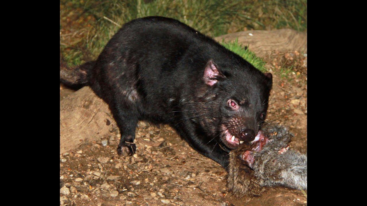 The real tasmanian devils youtube - Tasmanian devil pics ...