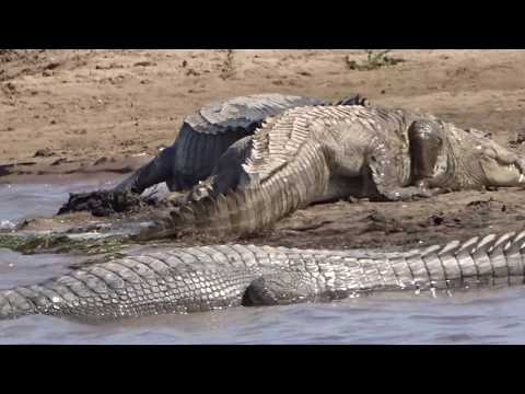 Crocodile moving in chambal river