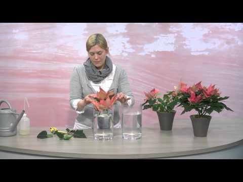 Informations pour les fleuristes : l'utilisation des tiges de poinsettia (étoile de Noël) en bouquet