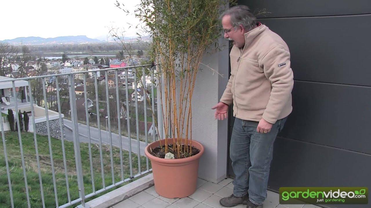 Bamboo - Phyllostachys aureosulcata in a pot - YouTube