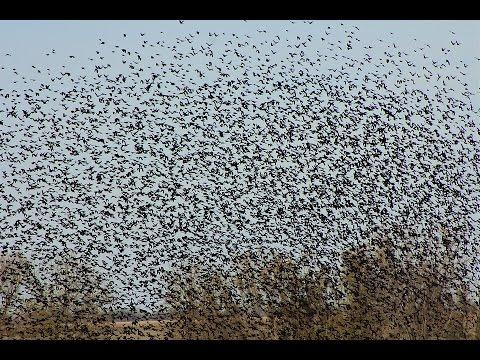 BLACKBIRD INVASION !