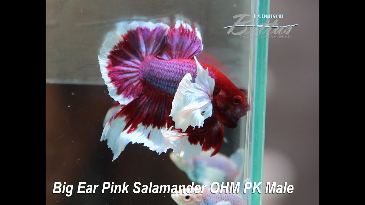 Betta big ear pink salamander ohm pk males youtube for Big betta fish