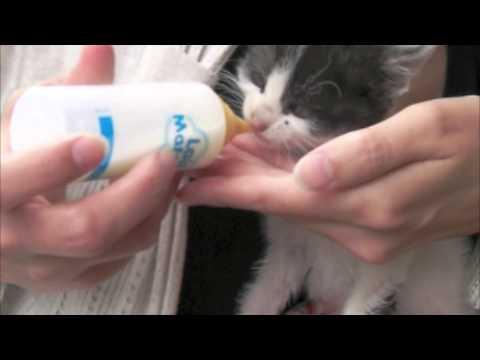 chat constipé donner du lait