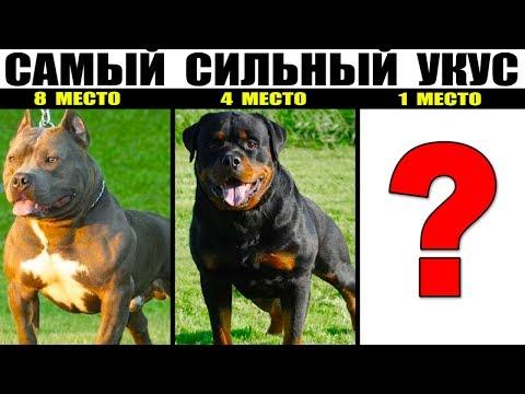 10 Пород собак с самым сильным укусом