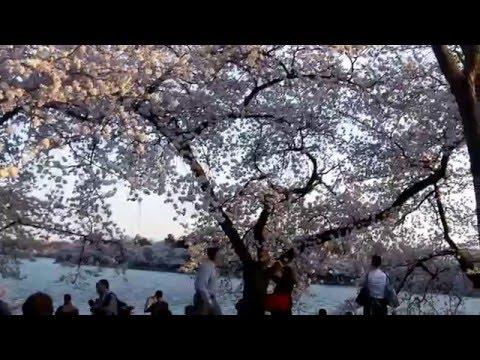 Cherry Blossom Festival 2016 - At The Monuments - Washington DC - 3/24/2016.