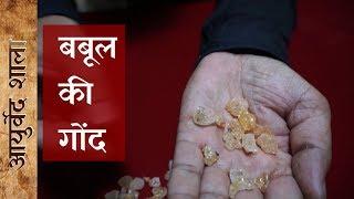 बबूल की गौंद के फायदे, नुकसान और उपयोग | Benefits of Babool Gond | Ayurved shala