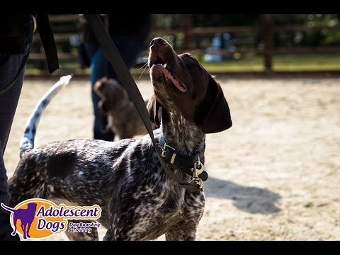 Luna – German Shorthaired Pointer – 3 Week Residential Dog Training at Adolescent Dogs