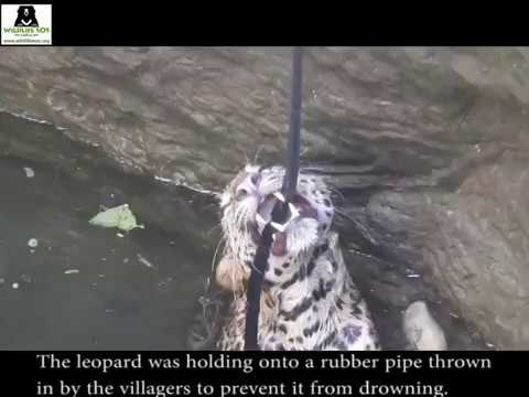 Pregnant Leopard Saved From Drowning In a Well By Wildlife SOS