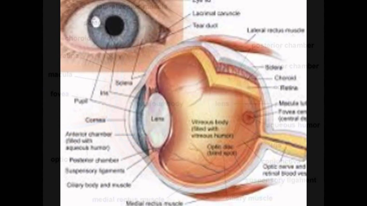 Anatomy Of The Eye Images - YouTube