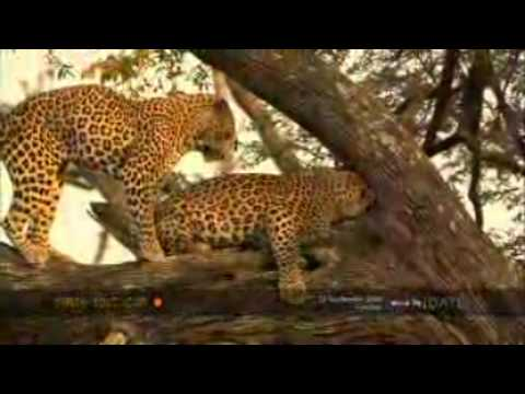 Leopards Mate in a Tree - YouTube