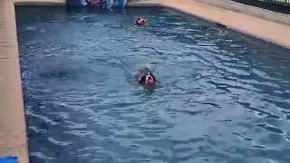 English Springer Spaniels Oliver & Frieda Swim In A Swimming Pool Chasing Their Dog Toys