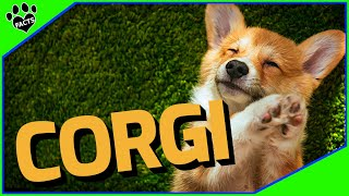 Corgi Dogs 101  Packed with Cuteness