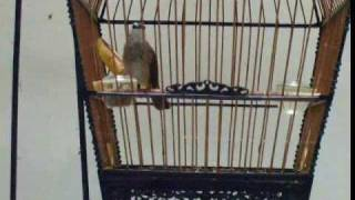 Gambar cover Yellow Vented Bulbul - Practicing his song