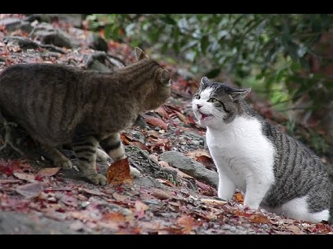 Как кошки заражаются бешенством